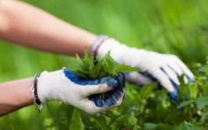raccolta piantespontanee